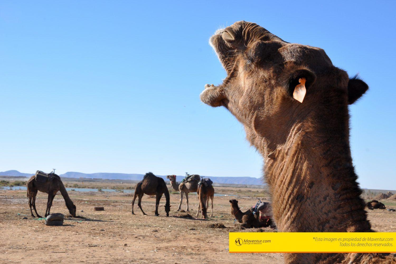 camella-dromedarios-merzouga-camellos-maventur-montar-camello-viajes